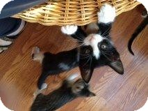 American Shorthair Kitten for adoption in San Marcos, Texas - Hermione