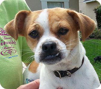 Pug Mix Dog for adoption in Orlando, Florida - Franny