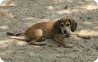 Hound (Unknown Type)/Labrador Retriever Mix Puppy for adoption in East Hartford, Connecticut - Gretal in CT