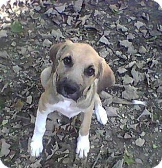 German Shepherd Dog Mix Puppy for adoption in Minneapolis, Minnesota - LeRoy