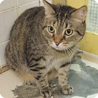 Domestic Shorthair Cat for adoption in Westville, Indiana - Shirley