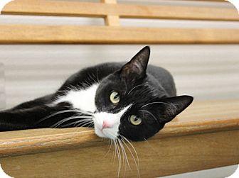 Domestic Shorthair Cat for adoption in Long Beach, California - Ziggy