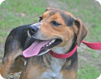 Beagle/Hound (Unknown Type) Mix Dog for adoption in Savannah, Georgia - Wallie