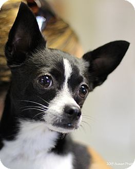 Chihuahua Mix Dog for adoption in Bedford, Virginia - Sport