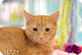 Domestic Mediumhair Kitten for adoption in Mansfield, Texas - Fuzzy