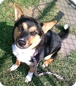 Australian Shepherd/Cattle Dog Mix Puppy for adoption in West Warwick, Rhode Island - Paisley