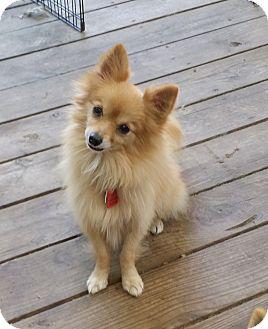 Pomeranian Dog for adoption in conroe, Texas - Newton