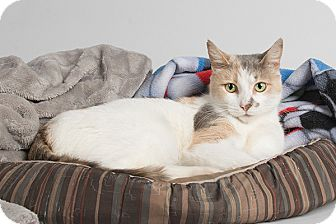 Calico Cat for adoption in Wilmington, Delaware - Mary Ann Cotton