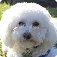 Adopt A Pet :: Danny Boy - La Costa, CA