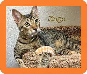 Domestic Shorthair Cat for adoption in Foothill Ranch, California - Jingo