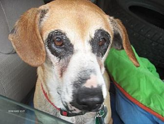 Hound (Unknown Type) Mix Dog for adoption in New York, New York - Susie Q