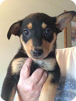 German Shepherd Dog/Australian Cattle Dog Mix Puppy for adoption in Cave Creek, Arizona - Scout