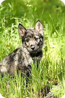 Husky/German Shepherd Dog Mix Puppy for adoption in Auburn, California - Timber