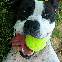 Boxer/Terrier (Unknown Type, Medium) Mix Dog for adoption in Lake Odessa, Michigan - Ace