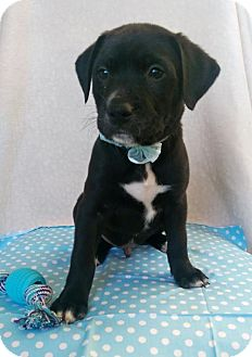 Labrador Retriever Mix Puppy for adoption in Elkton, Maryland - Larry