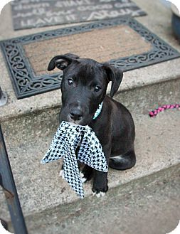 Labrador Retriever/Pit Bull Terrier Mix Puppy for adoption in Detroit, Michigan - Patrick-Adopted!