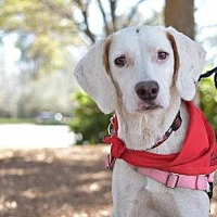 Coonhound (Unknown Type)/Whippet Mix Dog for adoption in Summerville, South Carolina - Collie