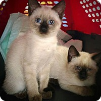 Adopt A Pet :: Jasmine & Tiger Lily - Knoxville, TN