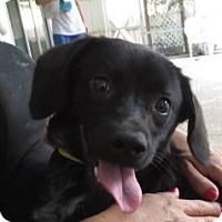 Adopt A Pet :: Sheila!  Precious! - St Petersburg, FL