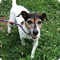 Jack Russell Terrier Dog for adoption in Columbia, Tennessee - Jack/KY