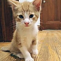 Adopt A Pet :: Figaro - Mississauga, Ontario, ON