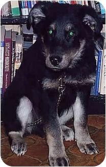 Shepherd (Unknown Type)/Husky Mix Puppy for adoption in Owatonna, Minnesota - Jericho