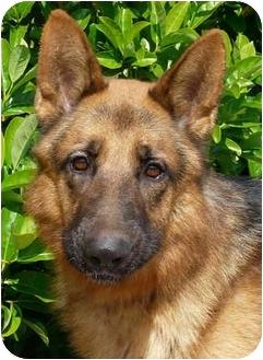 German Shepherd Dog Dog for adoption in Los Angeles, California - Heinz von Herzig