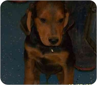 Coonhound Puppy for adoption in Naugatuck, Connecticut - Sonny
