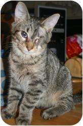 Domestic Shorthair Cat for adoption in Hopkinsville, Kentucky - Widget