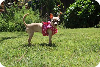 Chihuahua/Terrier (Unknown Type, Small) Mix Puppy for adoption in Redondo Beach, California - Petunia