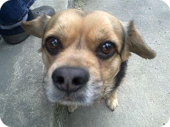 Beagle/Pug Mix Dog for adoption in Cumberland, Maryland - Gotti