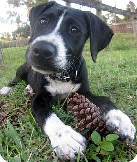 Hound (Unknown Type)/Retriever (Unknown Type) Mix Puppy for adoption in West Palm Beach, Florida - SYDNEY