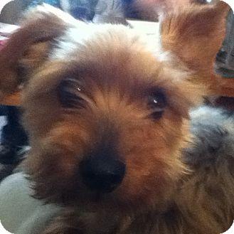 Yorkie, Yorkshire Terrier Mix Dog for adoption in Bettendorf, Iowa - Louie