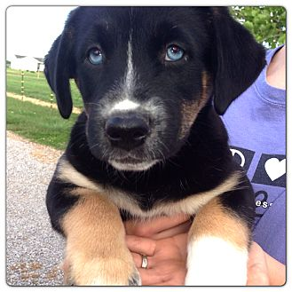 Husky/Border Collie Mix Puppy for adoption in Russellville, Kentucky - Blue Girl