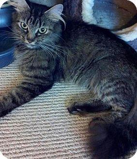 Domestic Mediumhair Cat for adoption in Newburgh, Indiana - Felicia