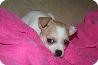 Chihuahua Puppy for adoption in Westfield, Indiana - Cricket