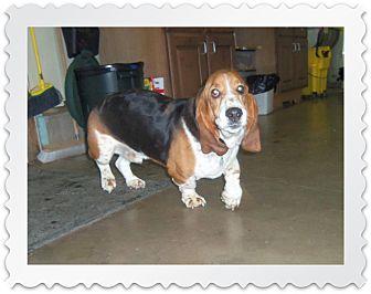 Basset Hound Dog for adoption in Medford, Wisconsin - OTTIS