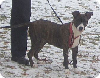 Bull Terrier/Hound (Unknown Type) Mix Dog for adoption in Bloomfield, Connecticut - Ellie Elf