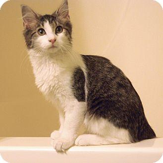 Domestic Mediumhair Kitten for adoption in Nashville, Tennessee - Beach