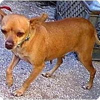 Adopt A Pet :: Buttercup - dewey, AZ