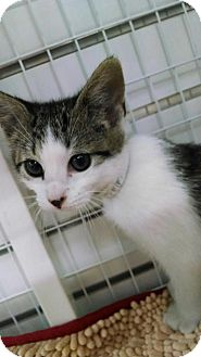Domestic Shorthair Kitten for adoption in East Meadow, New York - Jill
