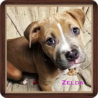 American Pit Bull Terrier/Boxer Mix Puppy for adoption in Warren, Michigan - Zelda