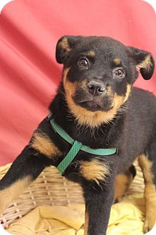 Rottweiler Mix Puppy for adoption in Waldorf, Maryland - Wilma