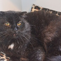 Domestic Mediumhair Cat for adoption in Lincoln, Nebraska - Simply Red