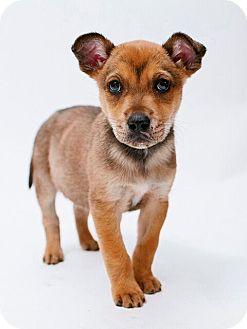 Blue Heeler Mix Puppy for adoption in Austin, Texas - Mac