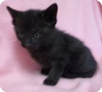 Domestic Shorthair Kitten for adoption in Silver City, New Mexico - Nay