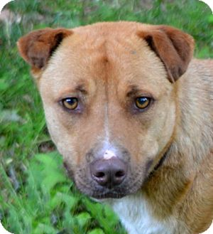 Shar Pei Mix Dog for adoption in Sylva, North Carolina - Skip
