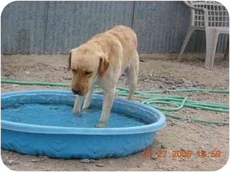 Labrador Retriever Dog for adoption in Thatcher, Arizona - Marvin