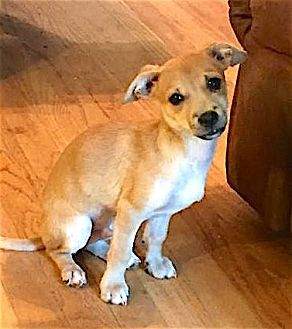 Chihuahua Mix Puppy for adoption in Alpharetta, Georgia - Kroy