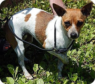Chihuahua Mix Dog for adoption in Williamsport, Maryland - Tammy(9 lb) Sweetheart!